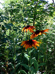 Best Flowers You Find In The Woods. (MooersRealty) Tags: flowers maine browneyedsusans blackeyed