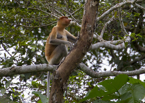 Borneo long-nosed monkey