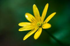 The sun in a deep green space (Giulio Magnifico) Tags: sun blur flower macro yellow space santamargherita friuliveneziagiulia nikond800 nikkormicro105mmafsvrf28