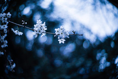 Just Another Sky (moaan) Tags: life leica sky 50mm spring dof blossom bokeh f10 utata cherryblossom sakura noctilux blossoming dramaticsky sprung m9 2013 inlife leicanoctilux50mmf10 leicam9