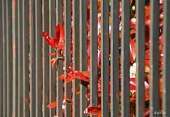 Enrejadas (Franco DAlbao) Tags: red plant planta rojo bars iron dof perspective perspectiva rejas hierro profundidaddecampo perpendiculars verticales nikond60 dalbao francodalbao tamronlens18200