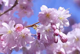 Bloesem. Sakura. Hanami. Blossom. Blüte. Floração.