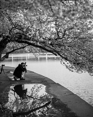 Reflecting on Cherry Blossom Photography [EXPLORED] (Tony DeFilippo) Tags: flowers nature dc washington cherryblossoms