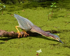 1OK_5228 (68photobug) Tags: park usa bird heron nikon florida reserve sigma wetlands marsh preserve lakeland sanctuary refuge naturecenter winterhaven polkcounty greenheron greenbackedheron discoverycenter environmentalcenter wildlifemanagement circlebbar 55300mm d7000 pinescrub 68photobug