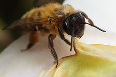Miner bee on camelia #1 (Lord V) Tags: macro bug insect bee minerbee