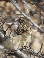 Vesper Sparrow (Circled Thrice) Tags: bird colorado sparrow coloradosprings co rampart birdphotography vespersparrow birdphotos birdpictures rampartpark
