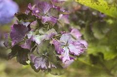 Hydrangea (dichohecho) Tags: flowers film analog purple hydrangea analogue pentaxmesuper fujisuperia400 westonbirtarboretum ubuphotosoc roll59 dichohecho