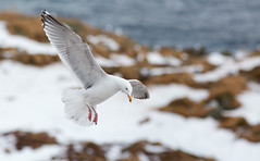 Herring Gull (uplit from the snow)