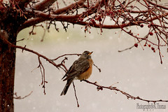 Robin~Spring snow storm (thomask8) Tags: snow tree bird nature robin animals outdoors photography berries bokeh naturescenes
