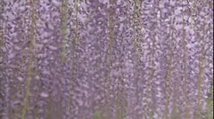 Explored 2013.04.24 Purple Rain (eriko_jpn) Tags: video explore purpleflower wisteria olympusomd olympusomdem5