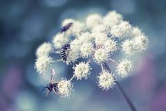 dinner is served (t1ggr) Tags: macro floral closeup dof pastel samsung bee mirrorless nx30