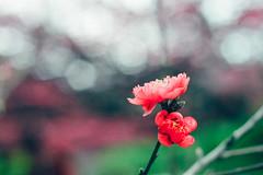 _MG_2345 (WayChen_C) Tags: plum   plumflower pingtung wutai     wutaitownship
