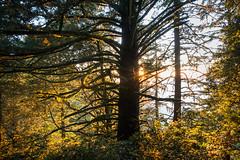 Purisima Creek Trail (tompost) Tags: firtree peninsula fog sunstar lastlight forest