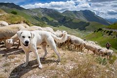 Maremmano, Monti Sibillini, Umbria, Italy (kimp1509/ Kim Petersen) Tags: italy umbria maremmano kim petersen sheep dog sibillini monti