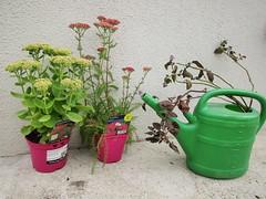 All the plants I possess (JulieK (finally moved to Wexford)) Tags: 2016onephotoeachday plants flowers sedum joy yarrow watermint canonixus170 garden wexford