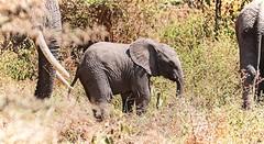 F O L L O W (Henry Harper) Tags: tanzania animal wild baby grey safari white