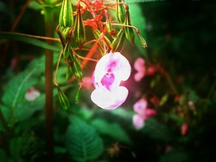 fuji_f100fd_forest_lantern (malemonada) Tags: outdoor summer forest wood flower depthoffield texture lantern himalayanbalsam