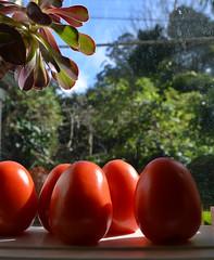 Ripening Red Romas (graeme37) Tags: tomatoes redtomatoes romatomatoes windowsill