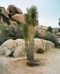 (36negatives) Tags: mamiya7 film analog kodakportra160 120 6x7 joshuatree california desert landscape