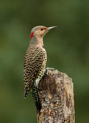 Northern Flicker (Bill McMullen) Tags: northernflicker flicker woodpecker bird avian animal wildlife summer fauna ontario woodland forest