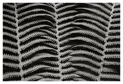 Intertwined (R. Drozda) Tags: fairbanks alaska home garden fern ostrichfern frond summer bw botany drozda