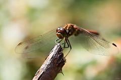 Hello sunshine  (eleni m) Tags: dragonfly insect outdoor branch eyes wings bush feet bokeh dof summer sun animal macro garden