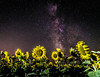 Girasoles de una noche de verano III (Job I) Tags: san adrián del valle leon castilla spain europe night long exposure milky way stars galaxy sky sunflowers astrophotography colours flowers plants mysterious alien space