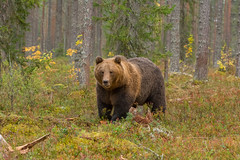 Wild brown bear near the Russian border in finland(2) (fire111) Tags: wild brown bear near russian border finland beer bruine khumo vikksimo