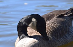 Canada Goose (careth@2012) Tags: wildlife goose beak feathers canadagoose bird nature