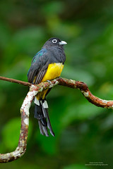 Black-headed Trogon, Costa Rica (www.juancarlosvindasphoto.com) Tags: blackheadedtrogon trogonmelanocephalus costarica birds trogon trogons birdphotography birdsinthewild tropicalbirds neotropicalbirds vertical portraitorientation nopeople oneanimal onebird sideview lookingatcamera wildlife