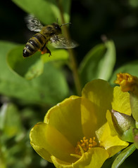Bee_SAF3613-1 (sara97) Tags: bee copyright2016saraannefinke flyinginsect insect missouri nature outdoors photobysaraannefinke pollinator saintlouis towergrovepark urbanpark wildlife