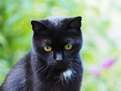 Kater KOCIO (arjuna_zbycho) Tags: blackcat tuxedo tuxedocat kater hauskatze cat animal cute animals pets gato kitten feline kitty kittens pet tier haustier katzen gattini gatto chat cats kocio