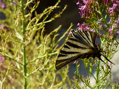 Voilier blanc - Iphiclides feisthamelii (thiery49) Tags: voilier blanc iphiclides feisthamelii eus pyrnes