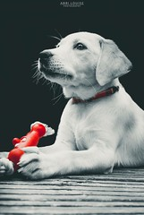 B&W Selective Colour On Whisper The Golden Labrador & Her Toy. (Abbi Louise Photography) Tags: dog lab labrador golden cute puppy days black white blackandwhite bw selective colour splash color selectivecolor selectivecolour bnw