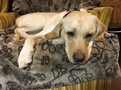 Calvin tuckered out (hero dogs) Tags: dog labrador cute therapydog servicedog