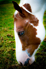 Buster (Cre@tivity) Tags: horse horses animals dutch blue eyes nature landscape canon750d canon holland white brown paint quarter