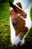 Buster (Cre@tivity) Tags: horse horses animals dutch blue eyes nature landscape canon750d canon holland white brown paint quarter