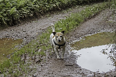 I'm Not Muddy Yet! - 52 Weeks For Dogs, 38/52 (me'nthedogs) Tags: 52weeksfordogs 3852 snaps terrier jackrussell jrt puddles mud