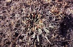 037-000 (Robby's Sukkulentenseite) Tags: cacti cactus ferocactus guanajuato ka4965s kakteen kaktus macrodiscus mexiko postfb rb113 reise sanluisdelapaz septentrionalis standort