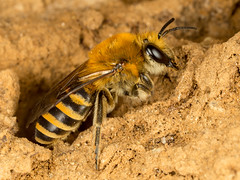 Ivy Bee (Dexon123) Tags: mining bee macro essex uk