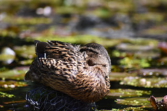 Duck (Glenn Pye) Tags: duck ducks birds bird wildlife nature nikon nikond7200 d7200