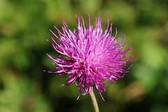 Wild Flower (Hugo von Schreck) Tags: outdoor alpineflower bergblume bume flower macro makro blte canoneos5dsr tamron28300mmf3563divcpzda010 onlythebestofnature