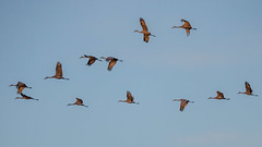 Sandhill Cranes in formation (pattyg24) Tags: horiconmarsh sandhillcranes tamron200500mm wisconsin bird flight nature sky summer