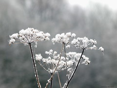 """Ice""Queen Anne's Lace (Rick & Bart) Tags: snow nature frost sneeuw natuur explore queenanneslace alken limburg vorst explored wildepeen rickbart mombeek rickvink mombeekvallei"