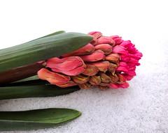 Hyazinthe (mayflower31) Tags: schnee pflanze rosa blume spargelgewchs