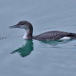 008002-IMG_2014 Black-throated Diver (Gavia arctica) thumbnail