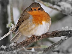 Mr..Grumpy (johnb/Derbys/UK.) Tags: life trees winter red snow colour bird ice home nature wet robin pose countryside interestingness nice interesting wings eyes breast view pov wildlife derbyshire olympus bloom glam myworld lovely shape grumpy chillout thelook howitis derbyshireuk johnb rememberthatmomentlev