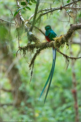 Resplendent Quetzal (Raymond J Barlow) Tags: male green bird art nature costarica wildlife naturallight adventure avian 200400vr nikond300 raymondbarlowtours