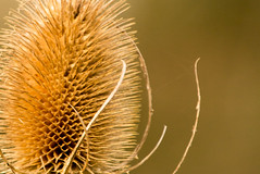 Teasel-3418 (WendyCoops224, Bit busy, here off & on a while) Tags: canon eos bokeh study teasel spikey fragile brittle 600d 100400mml