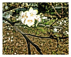 Plum Blossom (John Hague) Tags: photography blossom iphone iphoneography blacthorn simplyhdr uploaded:by=flickrmobile flickriosapp:filter=nofilter